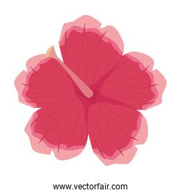 flower hibiscus on white background