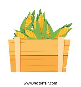 fresh vegetable corn in wooden basket