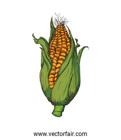 corn agriculture healthy food icon. Vector graphic