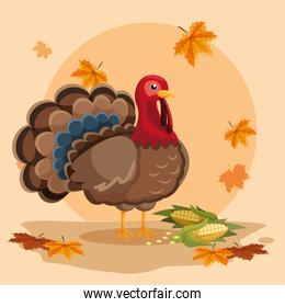 turkey with cobs of thanksgiving day