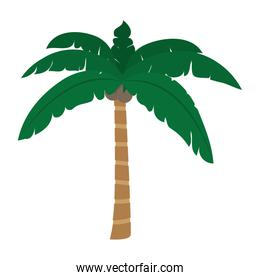 tropical palm tree with leaves and coconuts