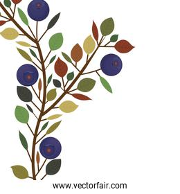 branch and leafs with purple natural blueberries