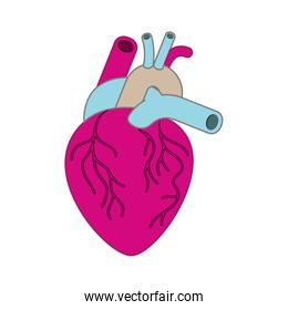 heart with veins isolated icon