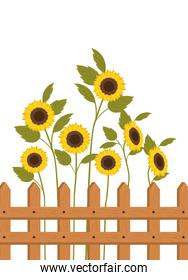 sunflowers with near isolated icon