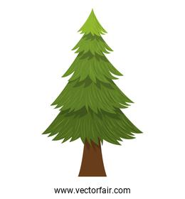 Isolated natural pine tree design