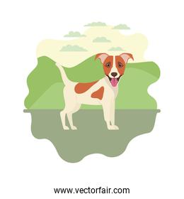 cute jack russell rerrier dog on white background