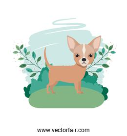 cute chihuahua dog with background landscape
