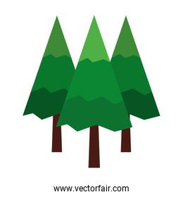 pine trees forest natural scene
