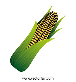 corn on the cob sweet with leaves