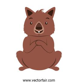 wombat australian fauna on white  background