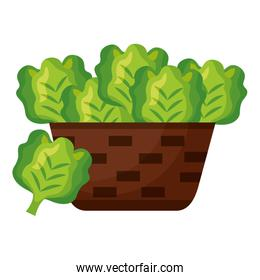 wicker basket with fresh lettuce