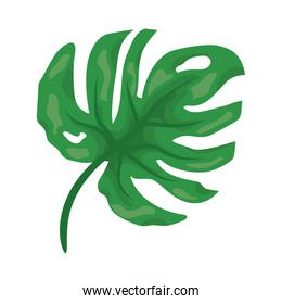 green leaf monstera