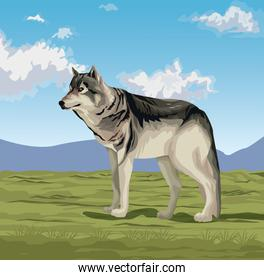 Wolf in the valley