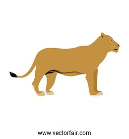 female lion african animal courageous creature
