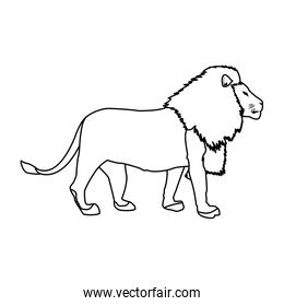 big lion african proud powerful nobility standing and fierce