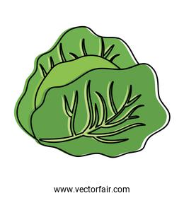 cabbage fresh vegetable icon