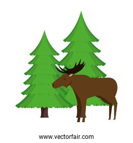 Canadian elk wild with pines forest