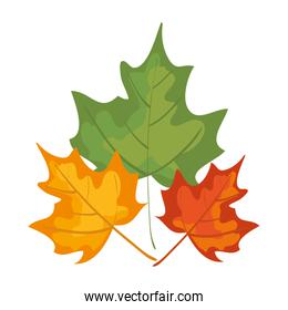 autumn dry maple leafs nature decoration