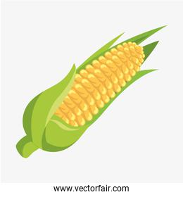 corn fresh and healthy vegetable