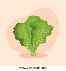fresh lettuce vegetable and healthy nutrition