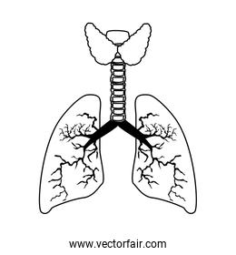 lungs organ human isolated icon