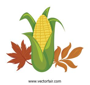 sweet corn with autumn leaves on white background