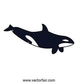 killer whale on a white background