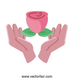 hands holding an rose with leaf on white background