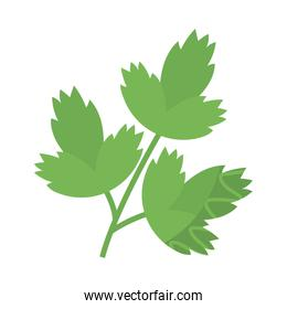fresh and healthy vegetable, celery leaves on white background
