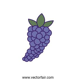 Isolated grapes fruit fill vector design