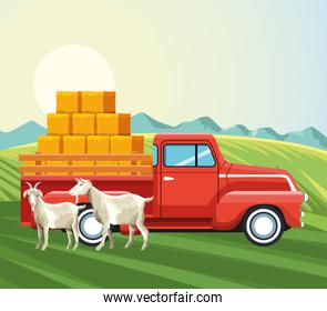 farming goats and pickup truck with bales of hay