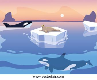 killer whale whit iceberg floating and seal