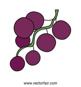 fresh grapes fruits isolated design