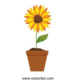 sunflower in pot plant on white background
