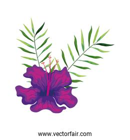 hibiscus beautiful purple color with branches and leaves, tropical nature, spring summer botanical