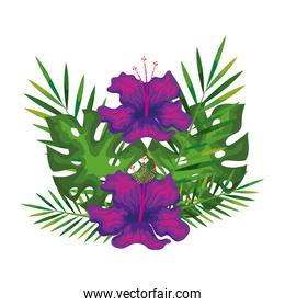 hibiscus flowers purple color with branches and leaves, tropical nature, spring summer botanical