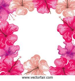 frame of hibiscus flowers pink color, tropical nature, spring summer botanical