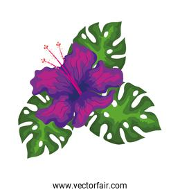 hibiscus beautiful purple color with leaves, tropical nature, spring summer botanical