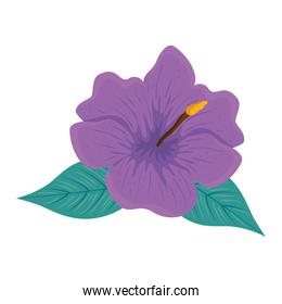 hibiscus beautiful purple color, with tropical leaves, spring summer botanical