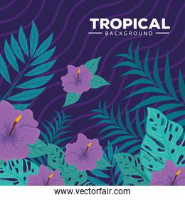 tropical background, hibiscus purple color, with branches and tropical leaves