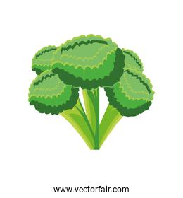 vegetable broccoli on white background