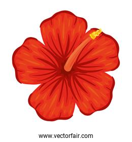 hibiscus flower of red color, in white background