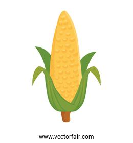 ripe corn cob with leaves, in white background