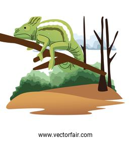 wild chameleon in branch scene