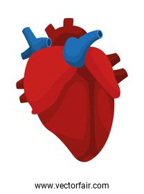 heart cardio organ isolated icon