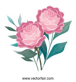 roses flowers pink with leaves painting vector design