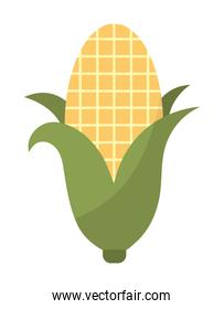 corn of a yellow color with a white background