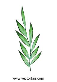 plant with many green leaves over a white background