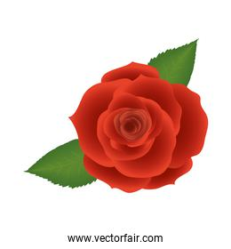 rose flower with leaves vector design