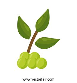 grapes fruit with leaves vector design